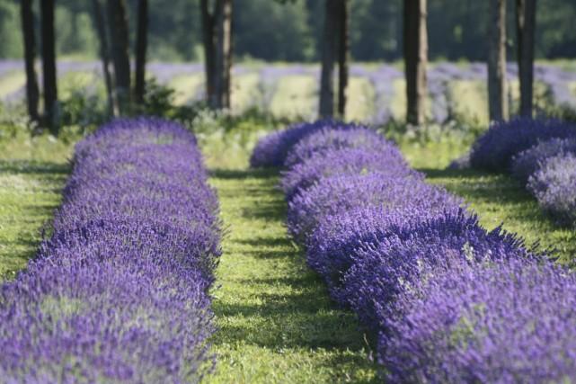 Plus besoin d'aller en Provence pour se balader dans des champs de lavande en... (Photo fournie par la Maison Lavande)