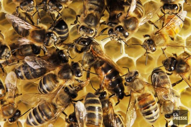 Le nombre exact d'abeilles décédées est inconnu, mais... (PHOTO ARCHIVES LA PRESSE)