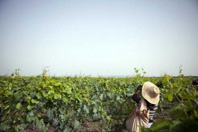 La tradition vinicole en Éthiopie remonte à la... (Photo ZACHARIAS ABUBEKER, AFP)