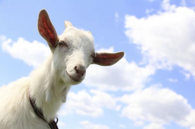 L'Expo de St-Hyacinthe présente plus de 2100 animaux,... (Photo Digital/Thinkstock)
