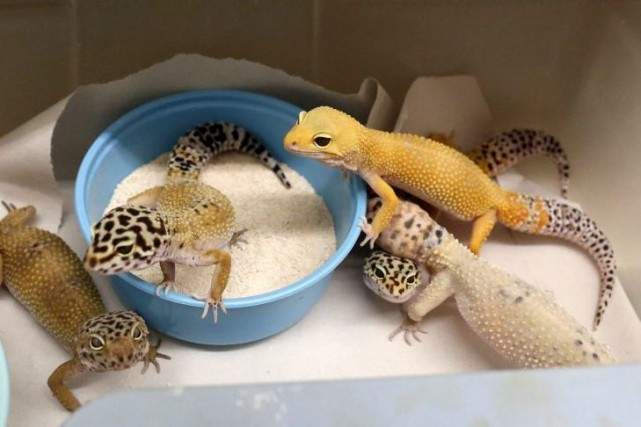Des geckos.... (PHOTO DOUG FINGER, ASSOCIATED PRESS)
