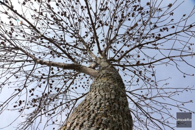 L'agrile du frêne est vorace et impossible à... (PHOTO ALAIN DION, LA VOIX DE L'EST)