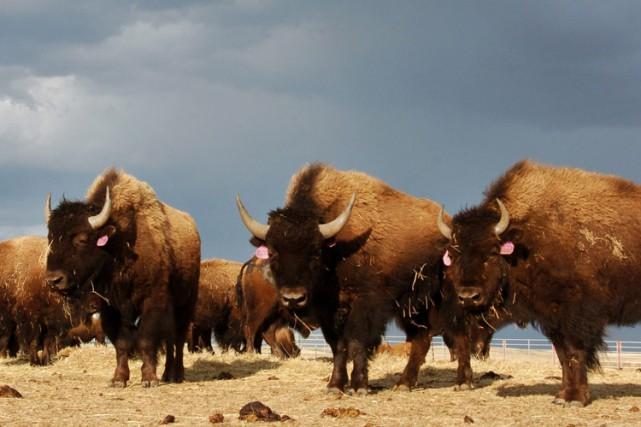 Jusqu'à 60 millions de bisons des plaines ont... (Archives AP)