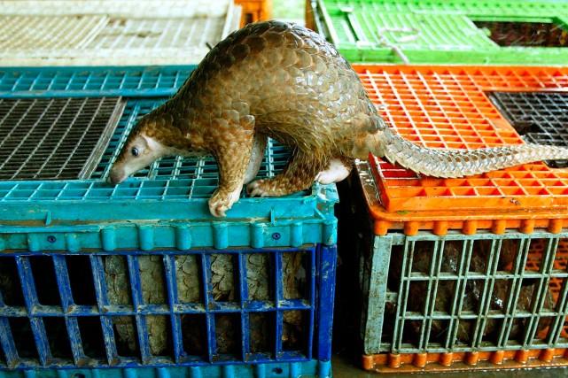 En dépit d'une interdiction du commerce des pangolins... (PHOTO  JIMIN LAI, ARCHIVES AGENCE FRANCE-PRESSE)