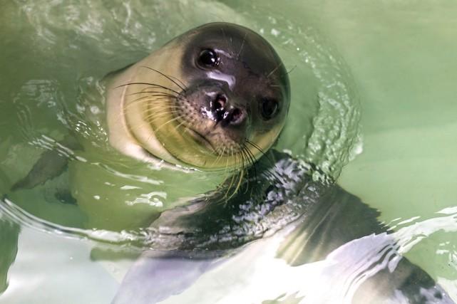 Le phoque moine de Méditerranée est la plus... (Photo archives AFP)