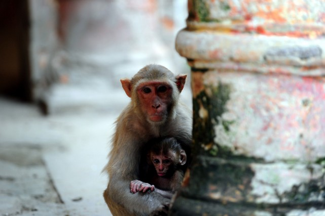 Dès que des singes en chair et en... (Photo AFP)