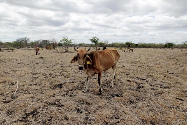 Déjà 2500 têtes de bétail ont succombé et... (Photo OSWALDO RIVAS, Reuters)