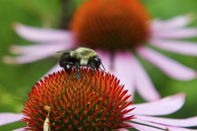 Le venin de l'abeille domestique contient de la... (PHOTO KAREN BLEIER, AFP)
