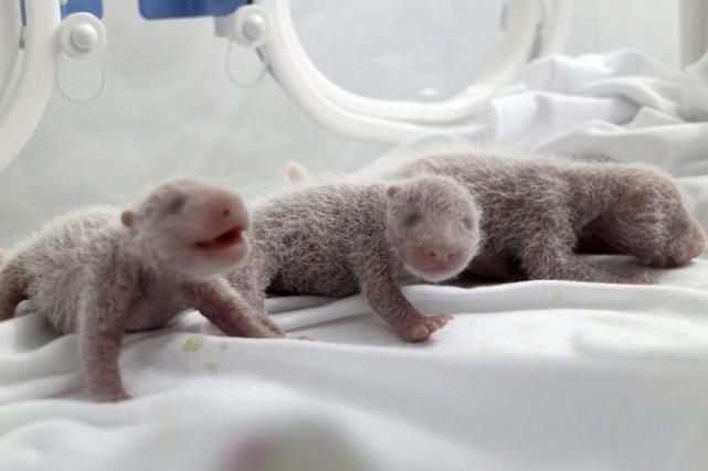 Les triplés pèsent actuellement entre 230 grammes et... (PHOTO REUTERS/CHINA DAILY)