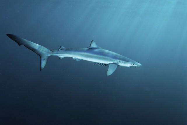 Le requin bleu, qu'on trouve généralement aux Tropiques... (Photo Digital/Thinkstock)