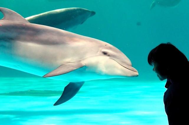 Les dauphins poussent souvent des cris perçants quand on leur donne un poisson... (Photo: AP)