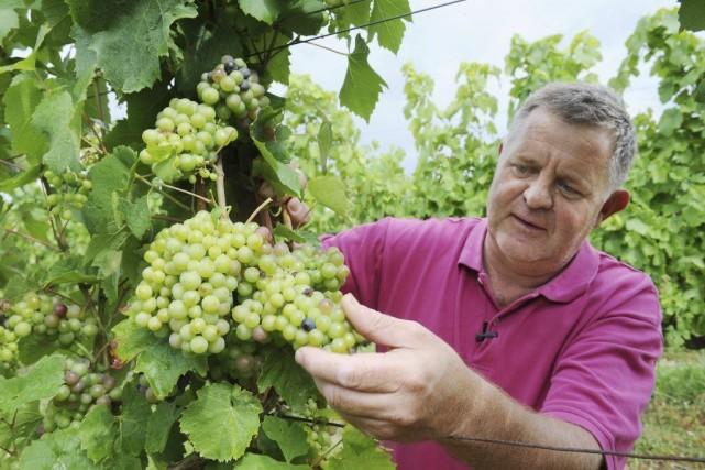 Olivier Brault surveille la croissance de ses raisinsà... (PHOTO JEAN-FRANCOIS MONIER, AFP)