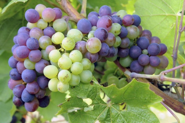 Une grappe de raisins d'un vignoble de Vauchrétien.... (PHOTO JEAN-FRANÇOIS MONIER, AFP)