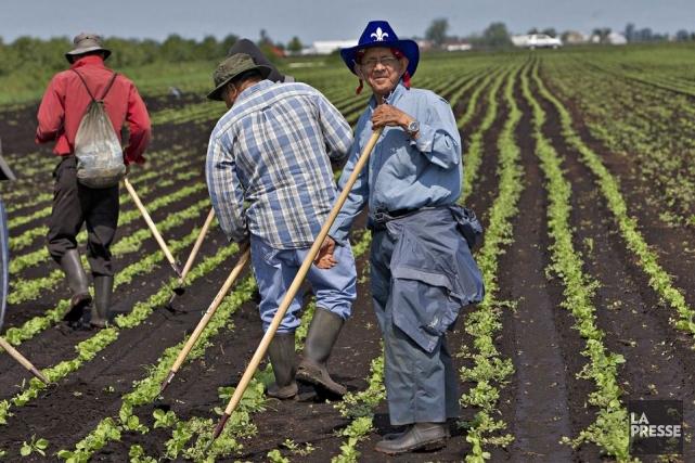 Le Québec compte 250 travailleurs agricoles syndiqués sur... (Photo Patrick Sanfaçon, archives La Presse)