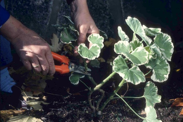 Annuelles rentrer pour l 39 hiver larry hodgson for Plante tropicale exterieur