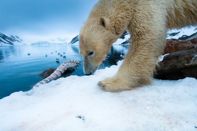 Des chercheurs testent une nouvelle technique afin d'étudier les ours polaires:... (Photo Reuters)