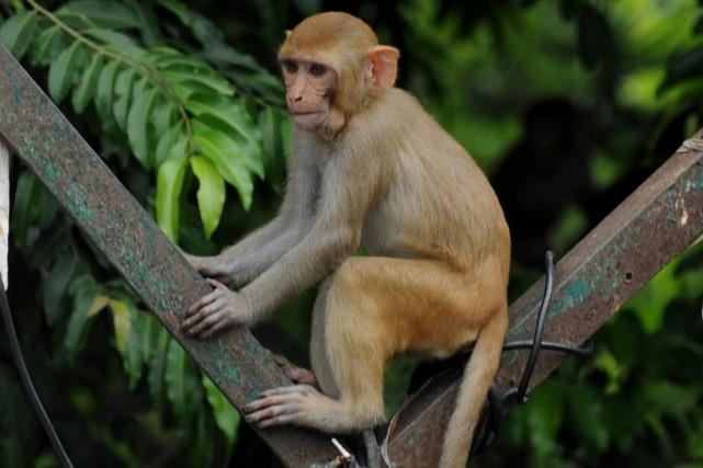 Un singe a déclenché une chasse au trésor dans une ville du nord de l'Inde en... (Photo Sajjad Hussain, archives AFP)