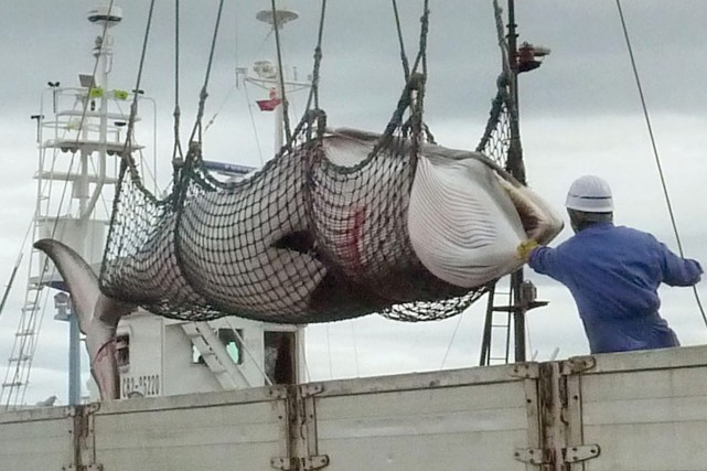 Certains détracteurs accusent le Japon de chasser les... (Photo Kyodo News, AP)