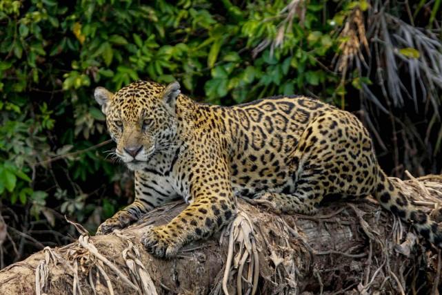 La protection du Pantanal passe par la protection... (PHOTO DOUGLAS TRENT, ARCHIVES BICHOS DO PANTAMAL)