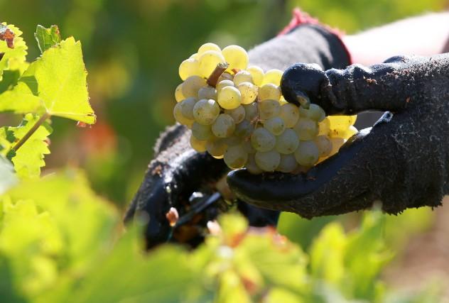 Les vendanges de raisins blancs battent leur plein... (PHOTO BOB EDME, ARCHIVES ASSOCIATED PRESS)
