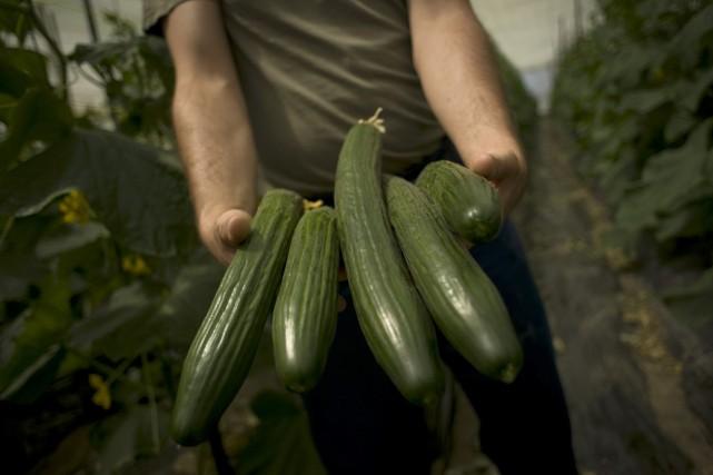 C'est un peu mêlant. Les concombres anglais (très longs) et libanais (plus... (Photo Jorge Guerrero, Archives AFP)