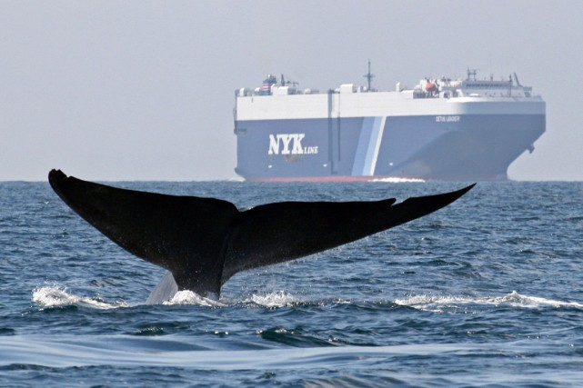 1645 baleines ont pêchées en 2013.... (PHOTO JOHN CALAMBOKODIS, ARCHIVES AP)