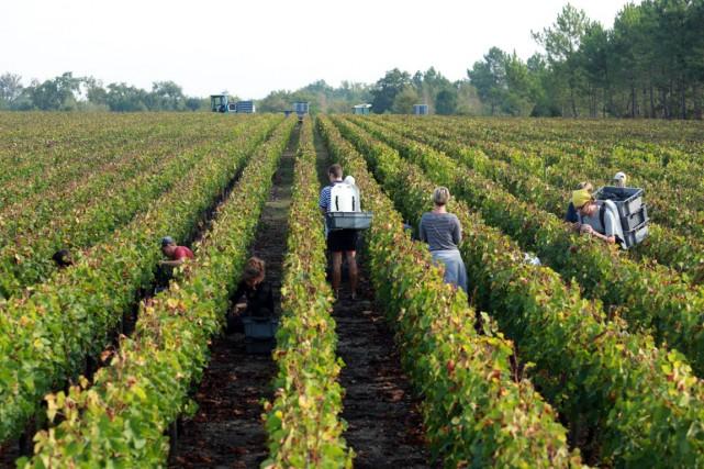 Si la quantité de récolte semble acquise, reste... (PHOTO NICOLAS TUCAT, AFP)