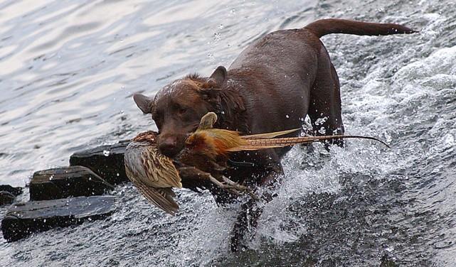 La chasse au faisan met à contribution des... (ARCHIVES LA NOUVELLE)
