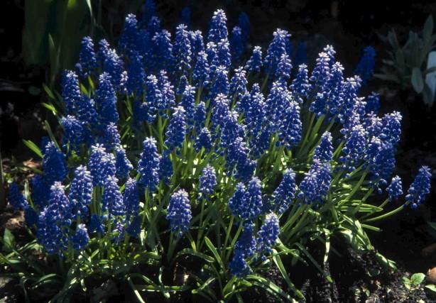 Muscari armeniacum (muscari d'Arménie) est l'espèce la plus... (Photo www.jardinierparesseux.com)
