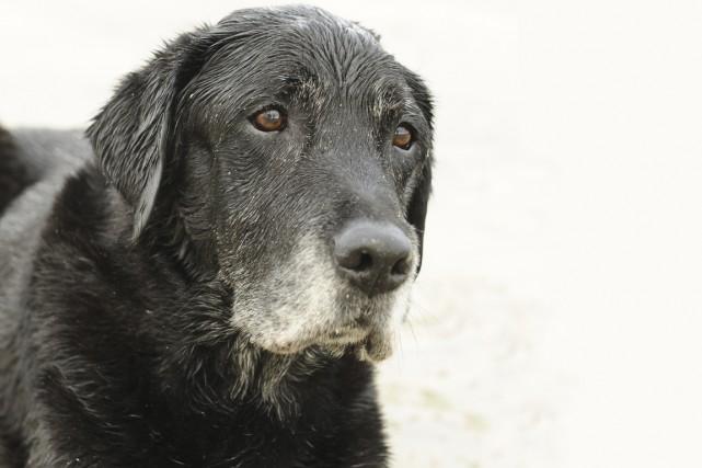 En entrant dans le troisième âge, les chiens,... (PHOTO THINKSTOCK)