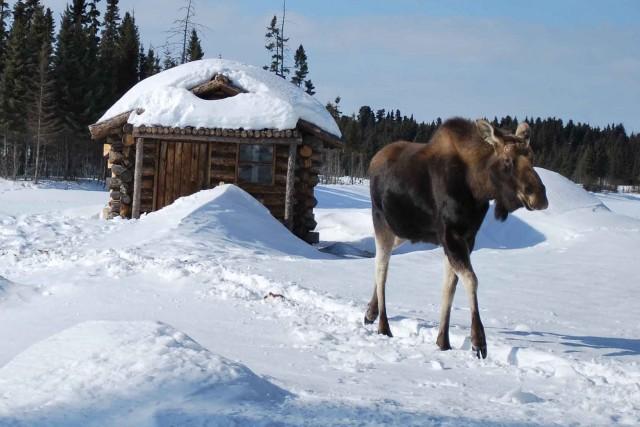 Le cheptel d'orignaux du Saguenay-Lac-Saint-Jean n'est pas à l'abri d'une... (Archives)