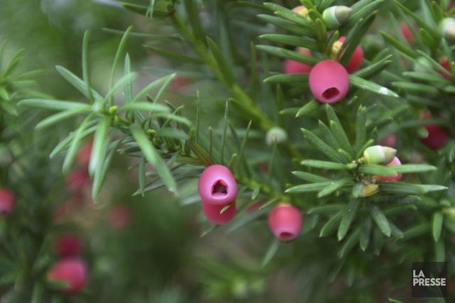 Les baies des IF sont roses au coeur... (PHOTO ALAIN ROBERGE, LA PRESSE)