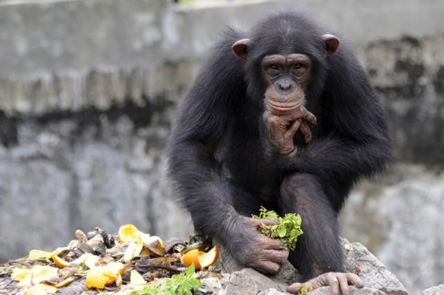 Les chimpanzés sont-ils légalement des «personnes»? Une Cour d'appel américaine... (Archives AFP)