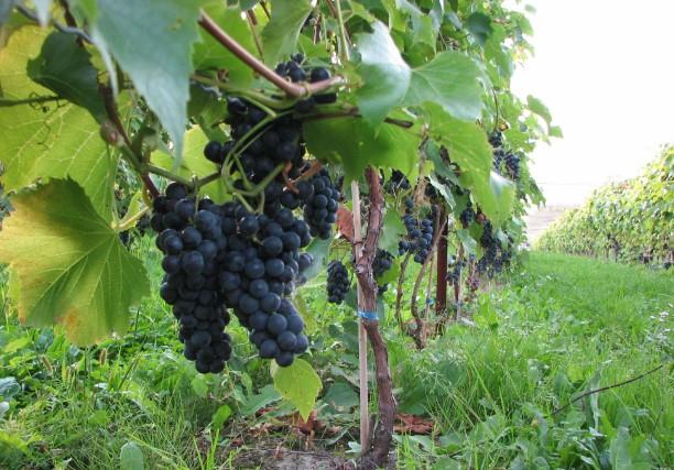 Le raisin est mûr pour les vendanges.... (Photo: Archives)