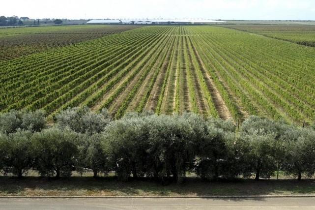 Les vendanges s'achèvent cette semaine au vignoble du... (PHOTO ALBERTO PIZZOLI, AFP)