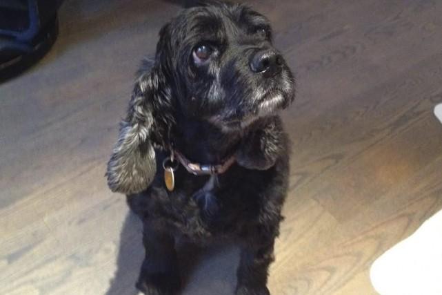 Daisy est arrivée à la SPCA Saguenay en... ((Courtoisie))