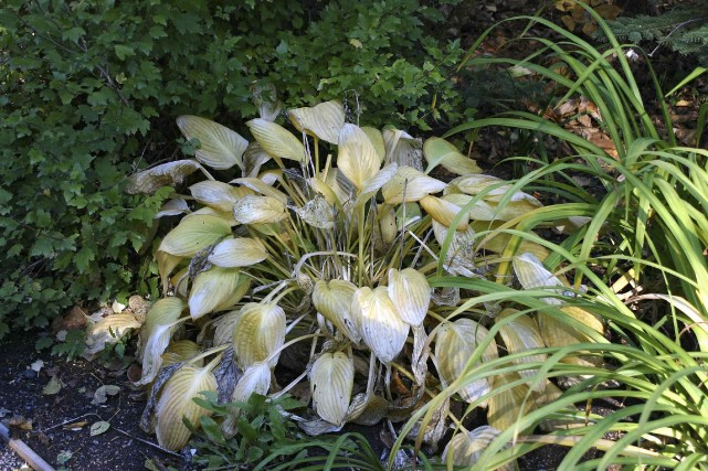 Supprimer les feuilles des hostas, à l'automne, est... (Photo WWW.JARDINIERPARESSEUX.COM)