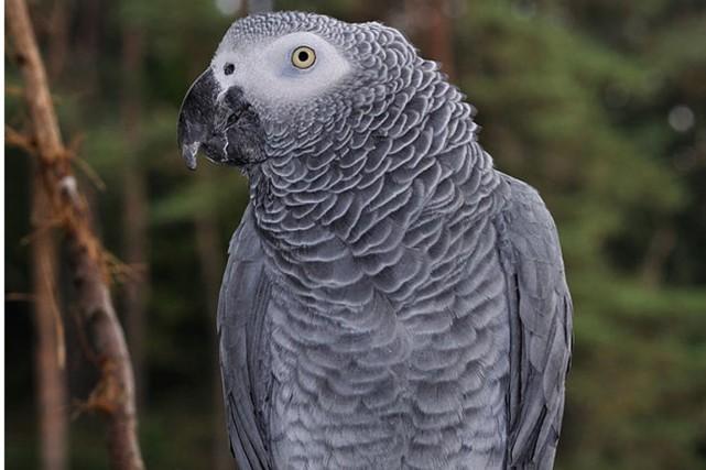 Un perroquet jaco (ou perroquet gris du Gabon)... (Photo tirée de Wikipédia)