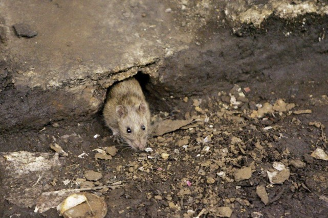 Le problème des rats n'est pas nouveau à... (PHOTO JULIE JACOBSON, ARCHIVES AP)