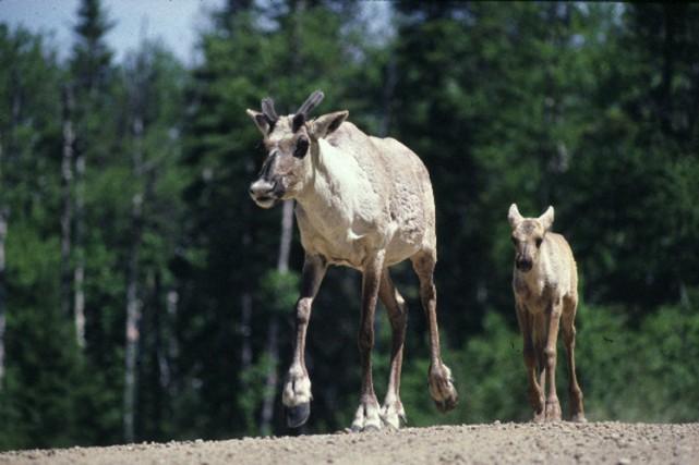 Le caribou forestier figure parmi les29 espèces menacées... (PHOTO FOURNIE PAR LE MFFP)