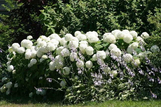 Hydrangée arborescente Annabelle: taillez sévèrement tous les ans,... (Photo www.jardinierparesseux.com)
