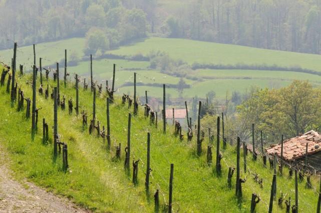 La vigne s'accroche comme elle peut.... (PHOTO FOURNIE PAR LE DOMAINE)