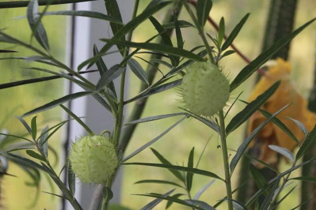Les curieuses capsules enflées et poilues ont mérité... (www.jardinierparesseux.com)
