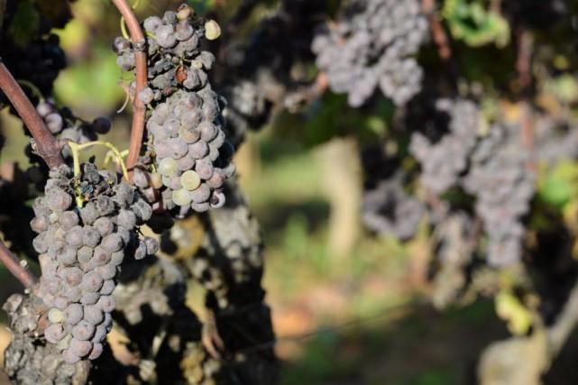Pour les responsables de la Coopération viticole, l'urgence... (PHOTO MEHDI FEDOUACH, AFP)