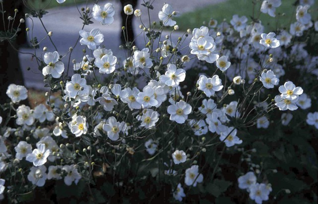 L'anémone d'automne 'Honorine Jobert' produit une profusion de... (www.jardinierparesseux.com)