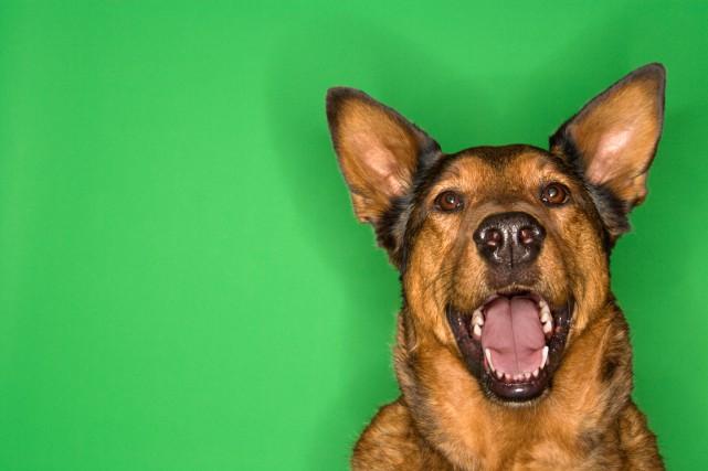 Aboyer est, pour votre chien, une façon de s'exprimer. Qu'il soit heureux,... (PHOTO THINKSTOCK)