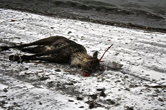 Les agents de la faune ont dû abattre... (Collaboration spéciale Johanne Fournier)