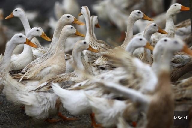 Le nouveau cas de grippe aviare touche une... (Photothèque Le Soleil)