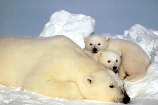 L'ours polaire, considéré comme globalement menacé, a été... (Photo STEVE AMSTRUP, AP)