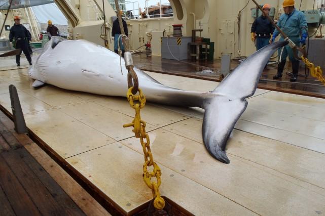 En mars, la Cour internationale de Justice (CIJ)... (Photo Institute of Cetacean Research, AFP)